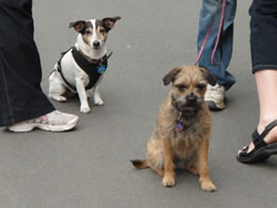kc-isabelle-terriers